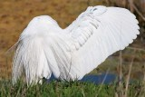 Great Egret wing spread
