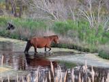 Wild Horse fording a stream