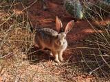 White-tailed jack rabbit, near Broken Arch
