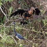 Anhinga and Tricolored Heron