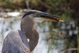 Great Blue Heron getting ready to swallow a fish