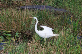 Great Egret sharing the stage with an Alligator