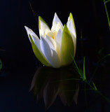 Water Lilly Reflection.jpg
