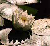 Water Lilly with Shadow.jpg