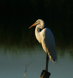 Great Egret at Sunset.jpg