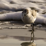 Dunlin at the Surf.jpg