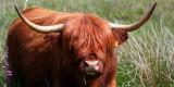 Highland Cattle 1.jpg