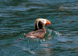 Tufted Puffin 2.jpg
