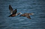 Harlequin Ducks.jpg