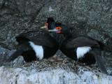 Pelagic Cormorants.jpg