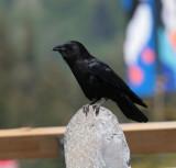 Fish Crow.jpg