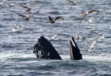 Humpback whale 1.jpg
