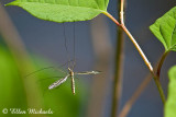 Crane Fly (male)