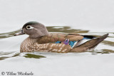 Wood Duck (female)