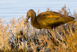 White-faced Ibis with catch