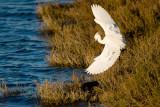 Snowy Egret landing next to White-faced Ibis