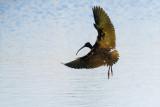 White-faced Ibis landing
