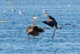 Great Blue Herons fighting