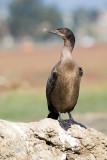Brandt's Cormorant, juvenile