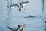 Sabine's Gull, juvenile