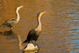 Double-crested Cormorants