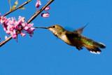 Selaphorus Hummingbird, female