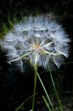 Backlit Dandelion