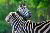 Zebri.jpg