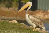 Great White PelicanPelecanus onocrotalus