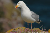 European Herring Gull  (Zilvermeeuw)