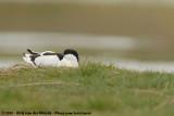 Pied AvocetRecurvirostra avosetta