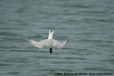 Common Tern  (Visdief)