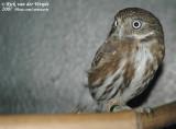 Peruaanse Dwerguil / Peruvian Pygmy Owl