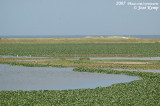 Overwoekerende waterhyacint