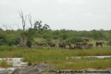 Afrikaanse Olifant / African Elephant