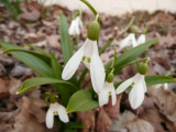 early spring snowdrops