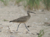Whimbrel and Footprints