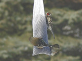 Common Redpoll, with winter plumaged American Goldfinches