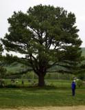 Arkansas tree.jpg