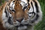 Arkansas Tiger.jpg