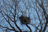 eagle in nest