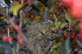 Sparrow's nest