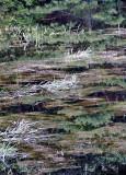 Grasses in Pond