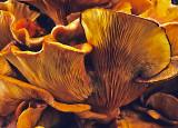 Omphalotus-olearius