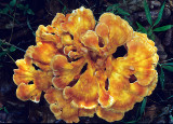 Orange-fungi