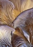 Fungi-Cluster-Underside