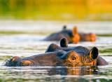 Hippo, Kaprivi