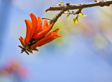 Flower of the Coral Tree, My Garden!
