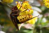 European hornet - Vespa crabro