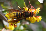 The hornet - about 25 mm long